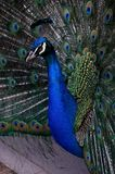 The color peacock. In zoo Royalty Free Stock Photos