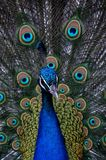 The color peacock. In zoo Stock Images