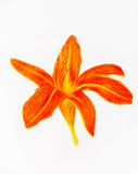 Color pencil drawing lily on paper background and Color Abstract background. Royalty Free Stock Photo