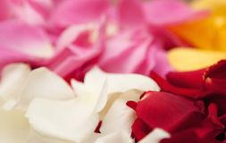Color petals of the roses clodse up Royalty Free Stock Image