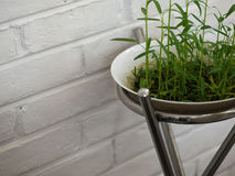 FRESH WATERCRESS SPROUT GROWING IN WHITE BOWL. COLOR PHOTO OF FRESH WATERCRESS SPROUT GROWING IN WHITE BOWL Royalty Free Stock Photography
