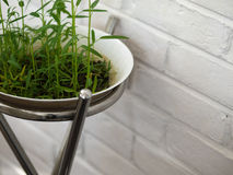 FRESH WATERCRESS SPROUT GROWING IN WHITE BOWL. COLOR PHOTO OF FRESH WATERCRESS SPROUT GROWING IN WHITE BOWL Stock Photography