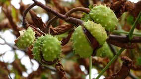 Chestnuts suspended from their stalk in the tree. royalty free stock photography