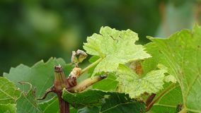 Color photo of a vineyard cut in plan moved closer. The scars of the grape harvests are visible on sheets and branches of the vineyard. We perceive the various Royalty Free Stock Photography