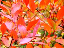 Color photography of autumnal tree with red leaves Stock Photo