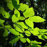 Color photography of beech tree. Color detail photography of green spring beech tree Royalty Free Stock Photos