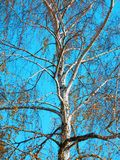 Color photography of naked autumnal birch tree Stock Photos