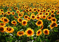 Color photography of sun flowers Stock Photo