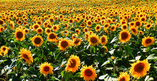 Color photography of sunflowers field Stock Photography