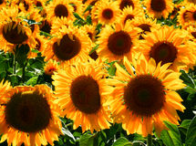 Color photography of sunflowers field Stock Image
