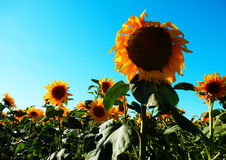 Color photography of sunflowers field Royalty Free Stock Image