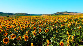 Color photography of sunflowers field Stock Photo