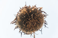 A Color picture of a dried sunflower on a field Royalty Free Stock Photos