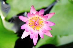 Color Pink Lotus Stock Photo