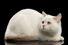 Color-point British Shorthair Cat Lying, Fearing Looks up, Isolated Background Stock Image