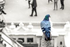 Color popup on  pigeon on blurred background with copyspace Royalty Free Stock Photo