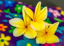 Three Yellow Frangipani Blossoms on Colorful Background. Three Yellow Frangipani Blossoms on multi-colored flowered background stock photography