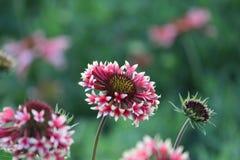 Color raro de la flor Foto de archivo libre de regalías