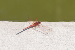 Color red dragonfly Royalty Free Stock Photos