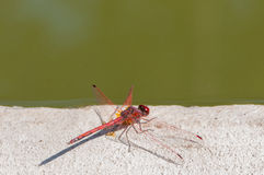 Color red dragonfly Royalty Free Stock Images