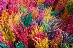 Color rice crop Royalty Free Stock Image
