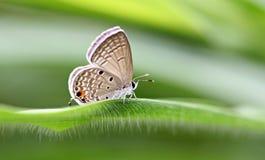 Color rojizo de la mariposa en las hojas verdes imagen de archivo libre de regalías