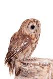 Color rojizo o búho de Brown aislado en blanco Fotos de archivo libres de regalías