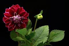 Color rojo de la dalia y x28; flores en un background& negro x29; Fotos de archivo libres de regalías