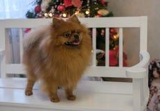 Color rojo de Pomeranian en el árbol de navidad Imágenes de archivo libres de regalías