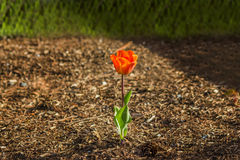 Color rojo del tulipán brillante en la tierra marrón Fotografía de archivo