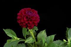 Color rojo oscuro de la dalia y x28; flores en un background& negro x29; Imagen de archivo libre de regalías