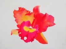 Color rojo, rosado realista de la flor de la orquídea en el fondo blanco Imágenes de archivo libres de regalías