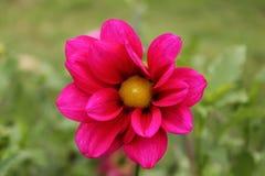 color rojo y amarillo único de la flor de la dalia en la montaña de Himalaya Foto de archivo libre de regalías