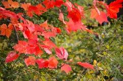 Color rojo y anaranjado de la hoja de arce durante otoño en el Adirondacks Imagenes de archivo