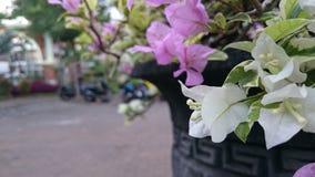 Color rosado blanco de la flor fotografía de archivo