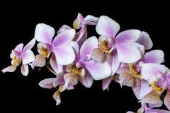 Color rosado blanco de Phalenopsis de la orquídea mini en fondo negro Imagenes de archivo