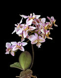 Color rosado blanco de Phalenopsis de la orquídea mini en fondo negro foto de archivo