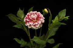Color rosado de la dalia; flores en fondo negro Imágenes de archivo libres de regalías