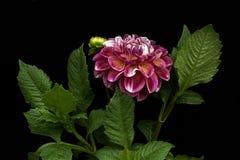 Color rosado de la dalia; flores en fondo negro Fotos de archivo libres de regalías