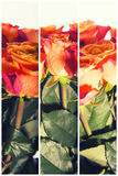 Color Roses Background,Flower background retro style Royalty Free Stock Images