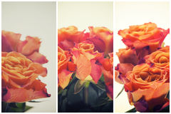 Color Roses Background,Flower background retro style Royalty Free Stock Photography