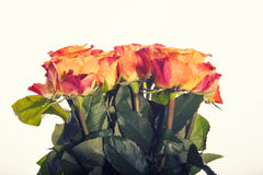 Color Roses Background,Flower background retro style Royalty Free Stock Photo