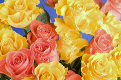 Color roses bouquet over blue background Royalty Free Stock Images