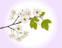 Color sakura flower branch Royalty Free Stock Photos