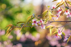 Color sakura. Color of leaves and blossoms Stock Photos