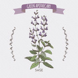Color salvia officinalis aka common sage sketch. Green apothecary series. Great for traditional medicine, cooking or gardening Royalty Free Stock Photos
