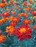 Color scarlatto dei fiori del tagete di safari Immagine Stock