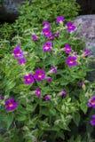 Color scarlatto dei fiori della scimmia Immagine Stock