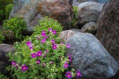 Color scarlatto dei fiori della scimmia Fotografie Stock Libere da Diritti