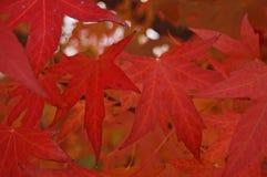 Color scarlatto dei fogli Fotografie Stock